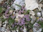 Thijm, stenen, Provence
